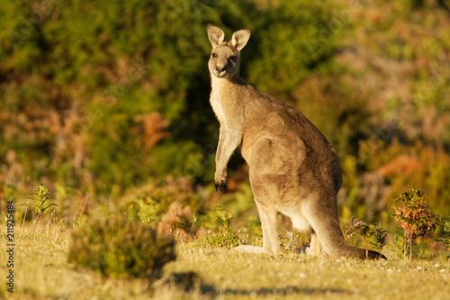 Fotografia  Macropus giganteus - Eastern Grey Kangaroo in Tasmania in Australia, Maria Islan