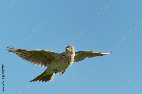 Sky Lark (Alauda arvensis) flying over the field with brown and blue backgrond Slika na platnu