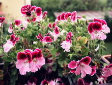 Beautiful Pink Purple Flowers Of Pelargonium Grandiflorum Geranium,easy To Cultivate For Garden And Balkony, Soft Focus
