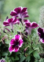 Beautiful Petunias Of Extraordinary Purple Color Edged In White On The Home Balcony