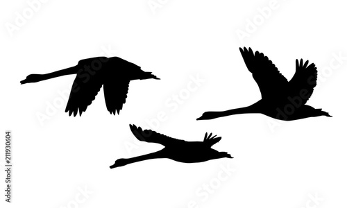 Fotografie, Obraz Set of three silhouettes of flying swans - vector