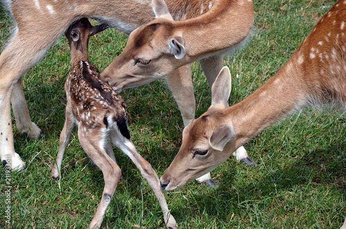 Keuken foto achterwand Ree Roe deer in the meadow