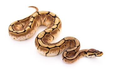 lopta piton zmija gmaz
