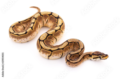 Photo ball python snake reptile