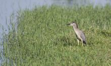 Night Heron Stood In Reeds Of ...