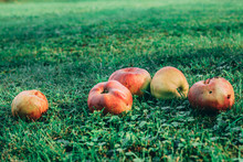 Five Ripe Apples Lying The The Grass