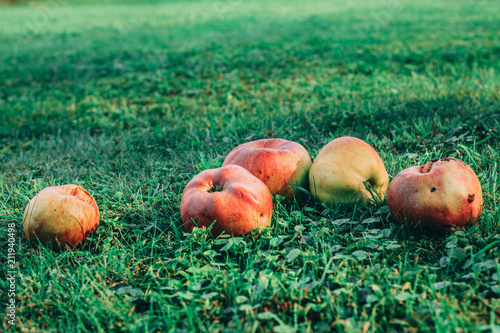Five ripe apples lying the the grass Canvas Print