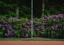 Rhododendron Blossoming Next To Tennis Court