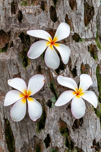 Keuken foto achterwand Frangipani Beautiful White Plumeria Flowers on Maui