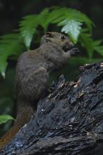 Pallas's Squirrel China