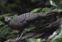 Grey Peacock-pheasant Bird China