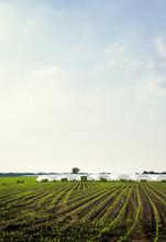 Greenhouses And Corn Growing In Field, Hoogstraten, Antwerpen, Belgium