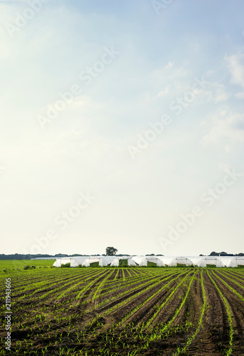 Greenhouses and corn growing in field, Hoogstraten, Antwerpen, Belgium