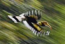 Great Hornbill Bird Flying In China