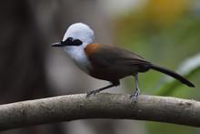 White-crested Laughing Thrush Bird