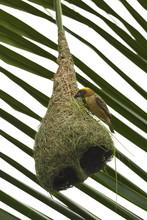 Baya Weaver Bird On Nest