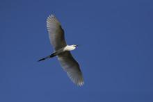 Intermediate Egret Bird Flying