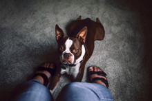 Boston Terrier Dog Lying Down At Woman's Feet, Personal Perspective