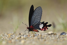 Chinese Butterfly Red With Big...