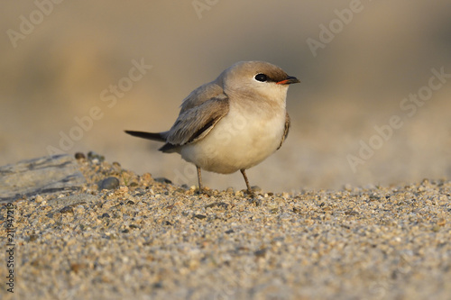 Poster Vogel Small pratincole bird sitting on sand