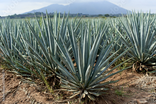 Photo BLUE AGAVE FIELD
