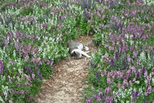 Cat Is A Animal Type Mammal And Pet So Cute Gray Color Sleeping For Outdoor Garden With Lavender Fields.