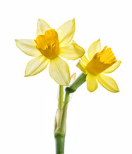 Fresh Narcissus Isolated On Wh...
