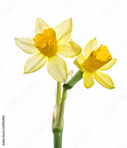 Fresh narcissus isolated on white background. Clipping path