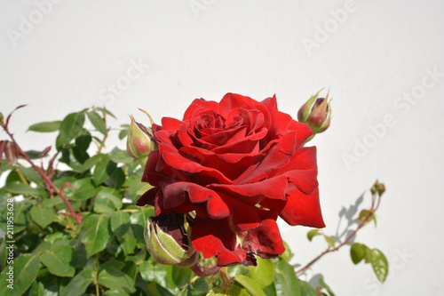 Fotografie, Obraz  rote Rose, Edelrose Ingrid Bergmann