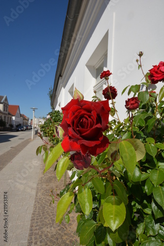 Photo  rote Rose, Edelrose Ingrid Bergmann