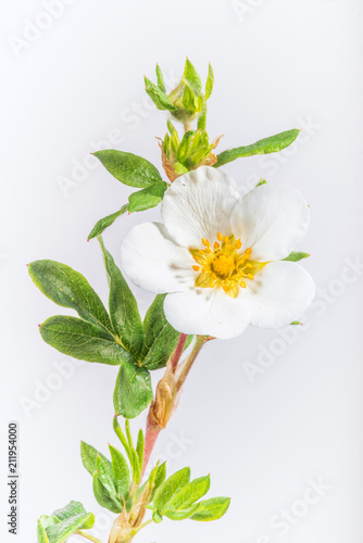 Fotografia, Obraz  White Flowering Potentilla