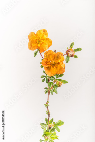 Valokuva  Orange Potentilla - Isolated on White