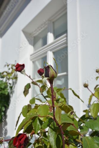 Photo  rote Rose, Edelrose Ingrid Bergmann