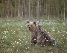 Scruffy Looking Brown Bear Sit...
