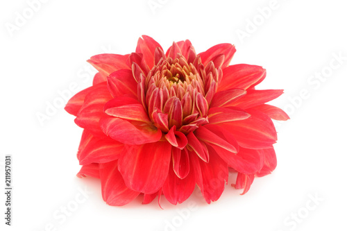 Deurstickers Dahlia Red Dahlia Flower Isolated on White Background