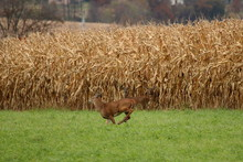 A Whitetail Buck Runs Across The Fields After A Group Of Doe And Yearling Fawns.