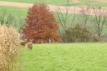 A Whitetail Buck Stand In The Hay Field With His Chosen Doe.