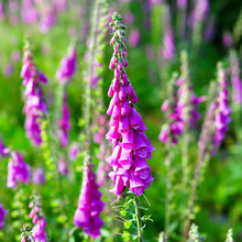 Close Up Of Foxgloves Amongst ...