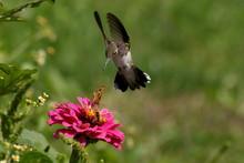 A Hummingbird Swoops Toward A ...