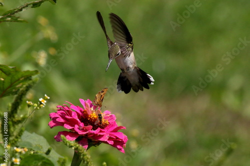 A hummingbird swoops toward a zinnia flower already occupied with a fiery skipper butterfly and a bee.
