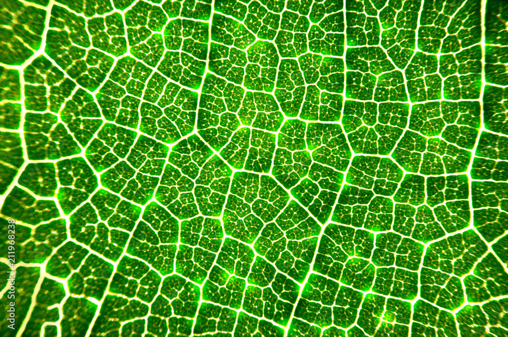 Fototapety, obrazy: close up glowing vein of green leave texture