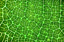 Close Up Glowing Vein Of Green Leave Texture