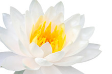 Beautiful Close Up White Lotus...