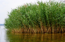 Bulrush, Or Cattail On The Sho...
