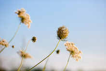 Queen Anne's Lace Flowers In F...