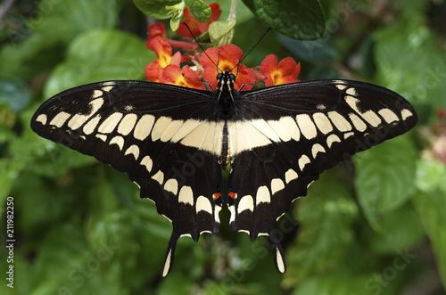 Fototapeta King swallowtail (Papilio thoas)