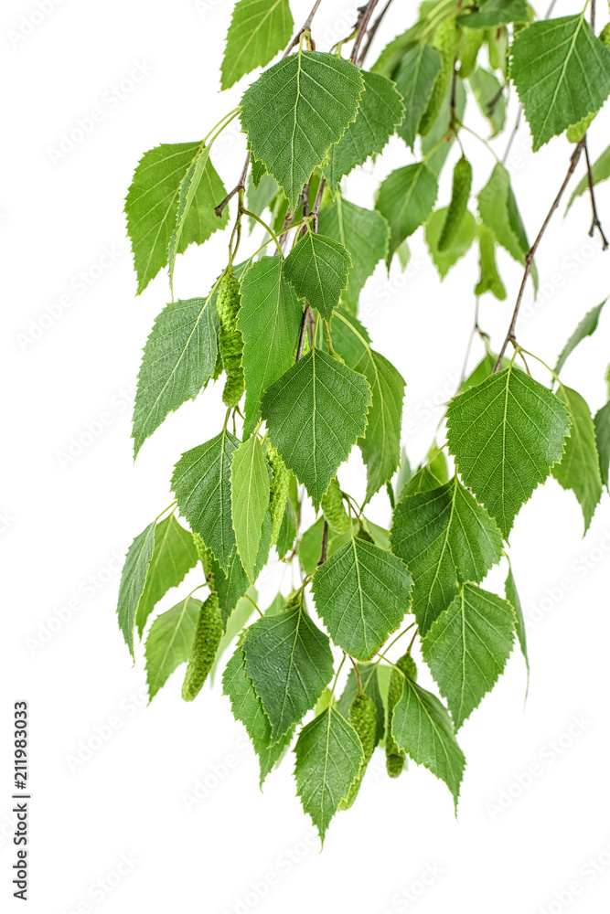 Young branch of birch with buds and leaves isolated on white background