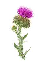 Milk Thistle Flower Plant Isol...