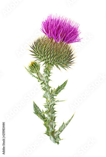 Milk thistle flower plant isolated on white background Canvas Print