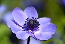 Anemone Coronaria, Purple Spring Flower, Poppy Anemone, Windflower Macro